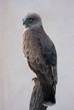 Serpent Eagle Images stock