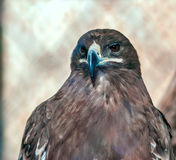 Serpent Eagle. Bird of prey: Serpent Eagle in Captivity Royalty Free Stock Photography