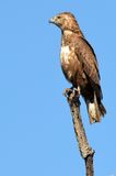 Serpent Eagle (cinereus de Brown de Circaetus) Image libre de droits