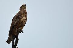 Serpent Eagle (cinereus de Brown de Circaetus) Images libres de droits