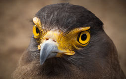 Serpent-Eagle. Stock Images