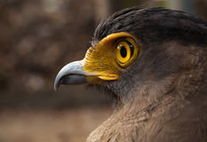 Serpent-Eagle. Royalty Free Stock Photos