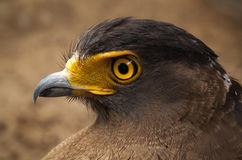 Serpent-Eagle. Stock Photography