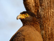 Serpent eagle closeup. Serpent eagle shot from close range at bhadra tiger reserve of India Stock Photo