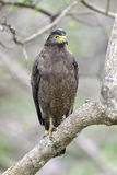 Serpent Eagle Stock Photography