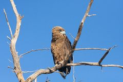 Serpent Eagle de Brown Photographie stock