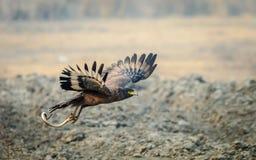Serpent Eagle die met doden vliegen Stock Afbeelding