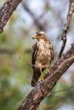 Serpent eagle juvenile Royalty Free Stock Photos