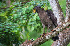 Serpent eagle looking for prey Royalty Free Stock Images
