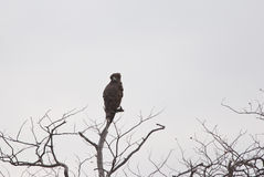 Serpent-Eagle Noir-chested sur une cime d'arbre Photo stock