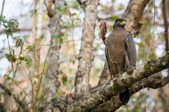 Serpent eagle ominous look. Serpent eagle a top predator sighted in tropical forests of India royalty free stock image