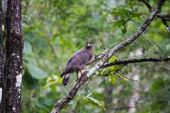 Serpent eagle. Perched on a tree at Bhadra tiger reserve of India Stock Photos