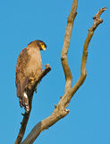 Serpent Eagle Royalty Free Stock Images