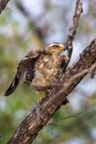 Serpent eagle taking off Stock Photo