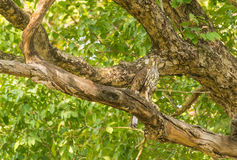 Serpent eagle Royalty Free Stock Image