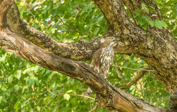 Serpent eagle on tree Royalty Free Stock Image