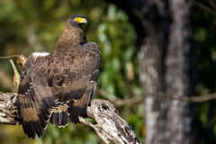 Serpent eagle well lit Stock Photo
