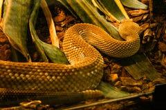 Serpent en captivité se reposant dans la mini-serre images libres de droits