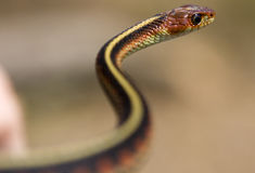 Serpent en forme de s Photographie stock