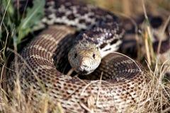 Serpent enroulé dans l'herbe (habitat normal) images libres de droits