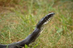 Serpent et amis de rat noir images stock