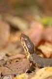 Serpent et automne Co de bouche de coton photographie stock