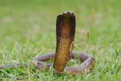 Serpent fâché de cobra de cap Image stock