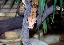 Serpent glissant en bas du branchement Image stock