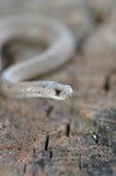 Serpent intérieur de Brown Photos stock