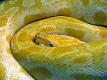 Serpent jaune Photos libres de droits