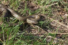 Serpent lisse photos stock