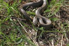 Serpent lisse photo libre de droits