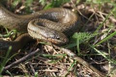 Serpent lisse photographie stock libre de droits