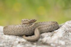 Serpent lisse, austriaca de Coronella, dans la R?publique Tch?que photos stock