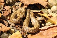 Serpent lisse camouflé sur l'au sol de forêt photographie stock