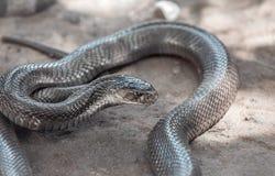 Serpent luisant de Brown image stock
