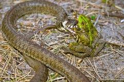 Serpent mangeant la grenouille Photographie stock