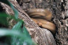 Serpent Montane d'oeuf-consommation Photo libre de droits