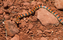 Serpent moulu occidental Image stock