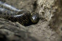 serpent noir 1 Photos stock