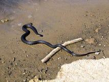 Serpent noir Photographie stock libre de droits