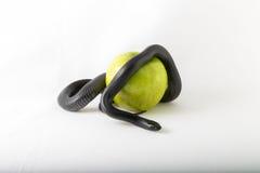 Serpent noir de tentation lovant autour d'une pomme verte Image stock