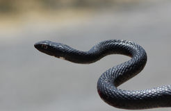 Serpent noir de whiptail Photos stock