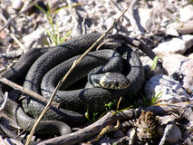 Serpent ou additionneur d'herbe image stock