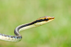 Serpent peint d'arbre de bronzeback Photo stock