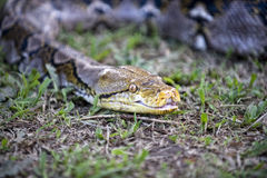 Serpent rampant Image stock