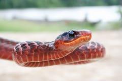 Serpent rouge du Surinam Images libres de droits