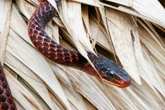 Serpent rouge du Surinam Photo libre de droits
