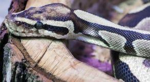Serpent royal de python Image libre de droits
