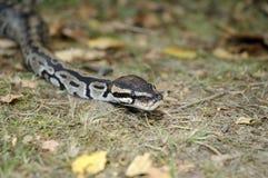Serpent royal de python Images libres de droits